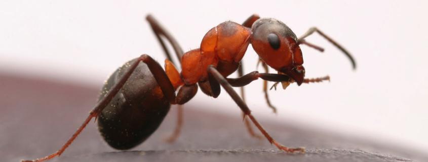 Schädling Ameise