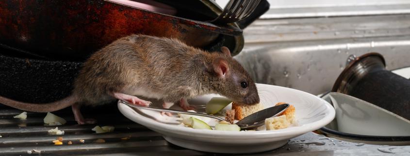 Ratten Schädlinge