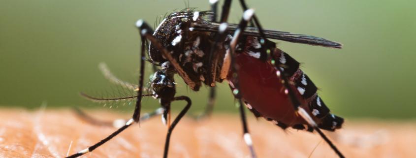 Stechmücken Schädlinge