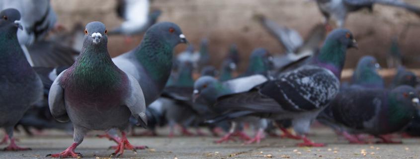 Tauben Schädlinge